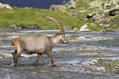Portrait of adult ibex in the Alps. Adult male ibex in Gran Paradiso Park Royalty Free Stock Photography