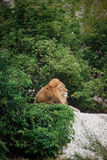 Portrait of an adult lion resting. Profile of a relaxed African lion staring in the zoo Stock Image