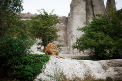 Portrait of an adult lion resting. Profile of a relaxed African lion staring in the zoo Royalty Free Stock Photo