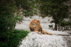 Portrait of an adult lion resting Stock Photos