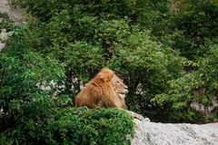 Portrait of an adult lion resting Stock Image