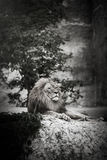 Portrait of an adult lion resting. Profile of a relaxed African lion staring in the zoo Stock Photography