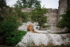 Portrait of an adult lion resting. Profile of a relaxed African lion staring in the zoo Royalty Free Stock Photography