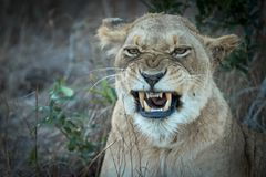 Portrait of adult lioness yawning stock photo