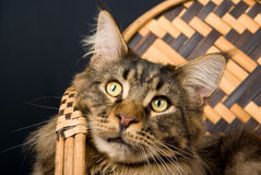 Portrait of adult Maine Coon cat Royalty Free Stock Photos