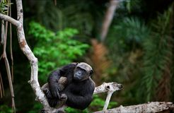 Portrait of the adult male  chimpanzee. Royalty Free Stock Photo