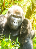 Portrait of adult male eastern gorilla, Gorilla beringei, aka Silverback, in natural habitat. Critically endangered. Primate. Green jungle forests of Bwindi Royalty Free Stock Photos