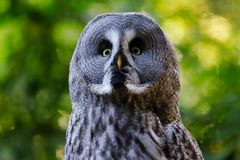 Portrait of adult male great grey owl Strix nebulosa. Photography of nature and wildlife royalty free stock photos