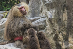 Portrait of adult male hamadryas baboon Royalty Free Stock Photo