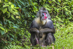 Portrait of the adult male mandrill Stock Photography
