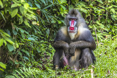 Portrait of the adult male mandrill Royalty Free Stock Image