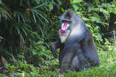 Portrait of the adult male mandrill Royalty Free Stock Photography