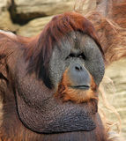 Portrait of adult male orangutan Royalty Free Stock Image