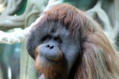 Portrait of adult male orangutan in the zoo Stock Image