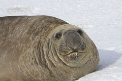 Portrait of adult male southern elephant seal lying in the snow Royalty Free Stock Photos