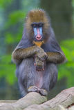 Portrait of the adult mandrill Stock Photography