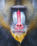 Portrait of the adult mandrill royalty free stock images