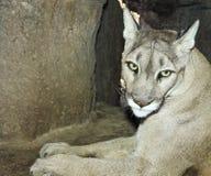 A Mountain Lion in its Den Portrait Stock Photos
