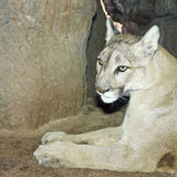 A Mountain Lion in its Den Portrait Royalty Free Stock Image