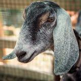 Portrait of adult Nubian goat Royalty Free Stock Photo