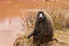 Adult Olive baboon foraging near the lake stock photo