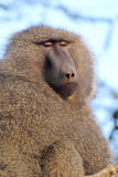 Portrait of adult olive baboon Stock Images