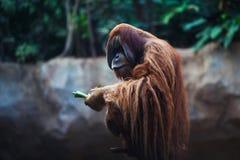 Portrait of adult orangutan Royalty Free Stock Image