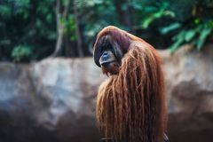Portrait of adult orangutan Royalty Free Stock Image