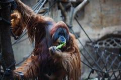 Portrait of adult orangutan Royalty Free Stock Photos