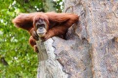 Portrait of adult orangutan Royalty Free Stock Photo