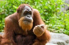 Portrait of adult orangutan Stock Photo