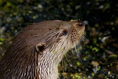 Portrait of adult otter in pond Royalty Free Stock Image