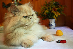 Portrait of adult Persian cat with fake bee and peach stock photography