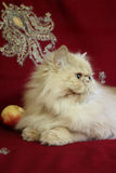 Portrait of adult Persian cat with a peach royalty free stock image