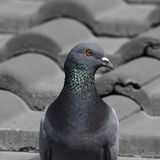 Portrait of an adult pigeon Stock Photos