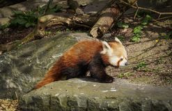 Red panda on rock. Portrait of adult red panda on rock on sunny day Stock Photo