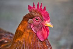 Portrait of adult rooster. He showing his larger comb. Photography of nature and wildlife stock photography
