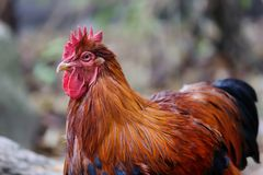 Portrait of adult rooster. He showing his larger comb. Photography of nature and wildlife royalty free stock images