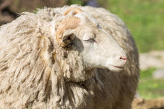 Portrait of adult sheep Royalty Free Stock Photos