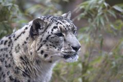 Portrait of adult snow leopard Panthera uncia Royalty Free Stock Photography
