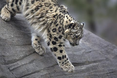 Portrait of adult snow leopard Panthera uncia Royalty Free Stock Photos