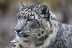 Portrait of adult snow leopard Panthera uncia Stock Photos