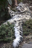 Portrait of adult snow leopard Panthera uncia. On rock Stock Image