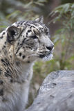 Portrait of adult snow leopard Panthera uncia Stock Images