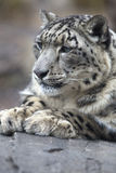 Portrait of adult snow leopard Panthera uncia. On rock Stock Images