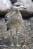 Portrait of adult stone curlew at rocky background Royalty Free Stock Photos