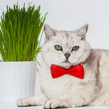Portrait of an adult white cat with beautiful green eyes and red bowtie on a white background with green grass Royalty Free Stock Photography