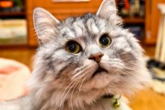 A portrait of an adult, a wise and very cute cat, stock image