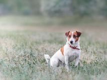 Portrait from afar of cute small white and red dog jack russel terrier sitting on glade on grass and looking at left side at summe. R sunny day royalty free stock photography