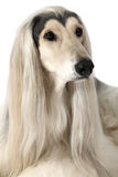 Portrait of Afghan hound dog Royalty Free Stock Images